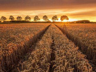 İnsanı Evcilleştiren Bitki: Buğday 5